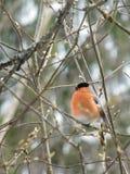 Bullfinch птицы Стоковое Фото