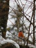 Bullfinch птицы Стоковые Изображения