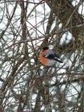 Bullfinch птицы Стоковое фото RF