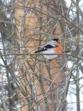 Bullfinch птицы Стоковая Фотография RF