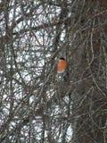 Bullfinch птицы Стоковые Фото