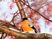 bullfinch Стоковые Изображения RF