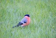 bullfinch Стоковое фото RF