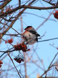 Bullfinch Photo libre de droits