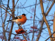 Bullfinch Fotografia de Stock Royalty Free