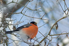 Bullfinch Stock Image