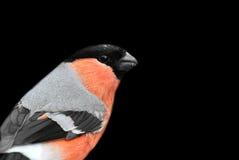 Bullfinch Stockfoto