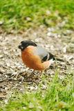 A Bullfinch Royalty Free Stock Images