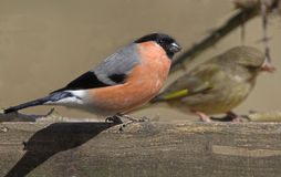 Bullfinch. Es on wood Royalty Free Stock Image