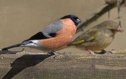 Bullfinch Image libre de droits