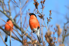 Bullfinch Lizenzfreie Stockfotos