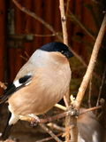 Bullfinch Photographie stock libre de droits