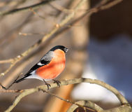 bullfinch Стоковая Фотография RF