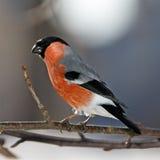 bullfinch Στοκ Εικόνες
