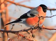 Bullfinch Royalty Free Stock Photos