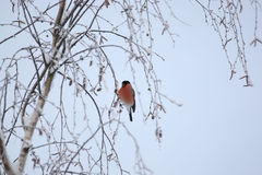 Bullfinch Photographie stock