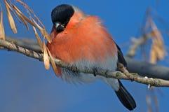 Bullfinch lizenzfreie stockbilder