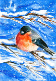 Bullfinch. And holly in a snowy day watercolor painted Royalty Free Stock Photo