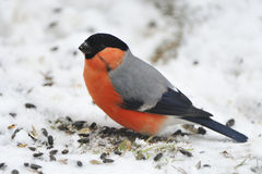 Bullfinch Royalty Free Stock Photos