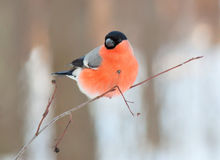 Bullfinch. Lizenzfreie Stockfotografie