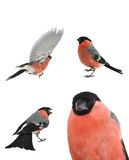 Bullfinch Στοκ εικόνα με δικαίωμα ελεύθερης χρήσης