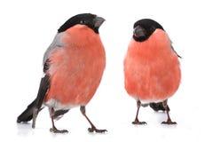 Bullfinch Στοκ Φωτογραφίες