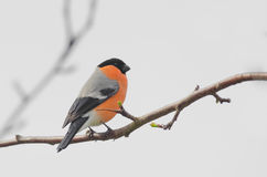 Bullfinch Stockfotos