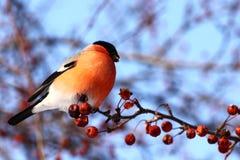 Bullfinch. Sitting on tree branch eating berries in winter Stock Photos