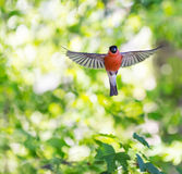 bullfinch Image stock