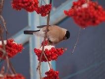 bullfinch Imágenes de archivo libres de regalías