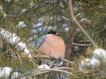 bullfinch Fotos de Stock Royalty Free