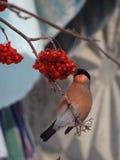 bullfinch Imagen de archivo