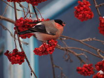 bullfinch Stockbilder