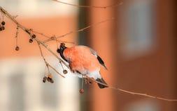bullfinch Стоковые Фотографии RF