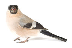 Bullfinch Stock Photo