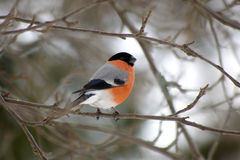 Bullfinch Stock Images