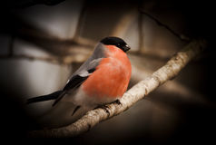bullfinch Стоковая Фотография
