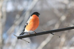 Bullfinch. Male of bullfinch. Winter day Royalty Free Stock Photography