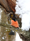 bullfinch Stockfotografie