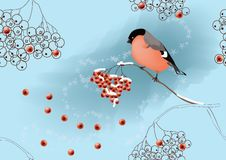 Bullfinch on ashberry  Royalty Free Stock Photography