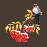 Bullfinch and ashberry. Beautiful image with nice bullfinch on the branch of ashberry Stock Image