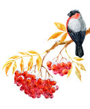 Bullfinch and ashberry. Beautiful image with nice bullfinch on the branch of ashberry Royalty Free Stock Photo