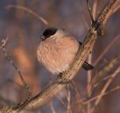 Bullfinch auf dem Baum Stockfotos