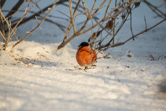 Bullfinch auf dem Zweig Lizenzfreie Stockfotos