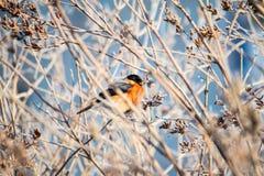 Bullfinch auf dem Zweig Stockfotos