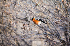 Bullfinch auf dem Zweig Stockbild