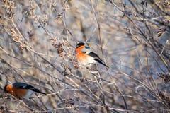 Bullfinch auf dem Zweig Stockfotografie