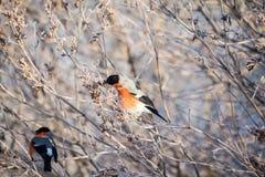 Bullfinch auf dem Zweig Lizenzfreie Stockfotografie