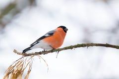 Bullfinch auf dem Zweig Stockfoto