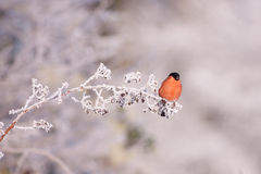 Bullfinch auf einem eisigen Zweig lizenzfreie stockfotos